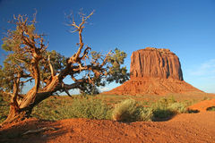 Juniper Tree - Monument Valley. Juniper Tree growing in Monument Valley, Arizona with sandstone butte in the background stock photo