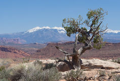 Juniper Tree. An old juniper tree in the desert with high mountain range in the background stock photography