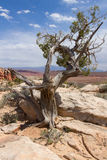 Juniper Tree royalty free stock photos