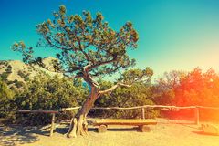 Juniper tree in the park Royalty Free Stock Images
