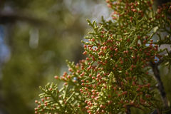 Juniper Tree Pinecones Detail Royalty Free Stock Photography