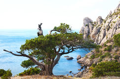 Juniper tree on rock. (Novyj Svit reserve, Crimea, Ukraine royalty free stock photo