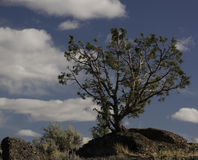 Juniper Tree. On a rock stock photography
