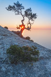 Juniper tree on the rock Royalty Free Stock Photography