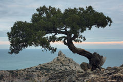 Juniper tree on the rock in Crimea. Evening landscape with scenic views of tree and the rocky cape in Black sea. Noviy Svet, Crimea stock photos
