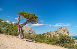 Juniper tree on the rock in Crimea. Evening landscape with scenic views of tree and the rocky cape in Black sea. Noviy Svet, Crime. A stock photography