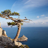 Juniper tree on rocky coast of Black sea Royalty Free Stock Image