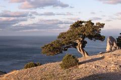 Juniper tree on rocky coast of Black sea stock photo