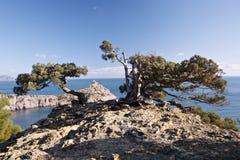 Juniper tree on rocky coast of Black sea royalty free stock photos