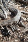 Juniper tree Royalty Free Stock Photography