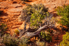 Juniper Tree Sandstone Arches National Park Moab Utah Stock Photos