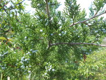 Juniperus Tree with Cones. Royalty Free Stock Image