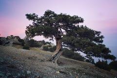 Juniper tree at sunset stock photos