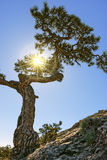 Juniper tree on top of a mountain. Sun rays Royalty Free Stock Photography