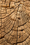 Old wood tree design juniper background texture Royalty Free Stock Image