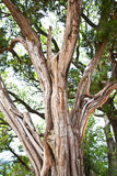 Juniper Tree Trunk and Branches. An beautiful striated Ashe Juniper tree that stands tall in a Texas park. Photograph taken at Dinosaur Valley Park in Glenrose royalty free stock photos