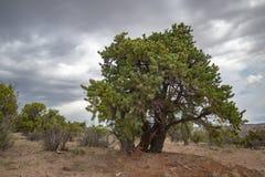 Juniper tree, Utah. Juniper tree in Escalante Petrified Forest State Park, Utah, United States stock image
