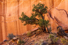 Juniper Tree Utah stock photos