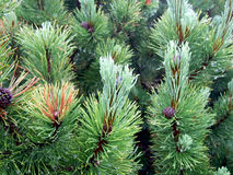 Pinus trees Stock Images