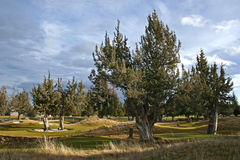 Juniper trees. Against a nice sky Stock Image