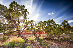 Juniper Trees in Arches National Park Royalty Free Stock Photo