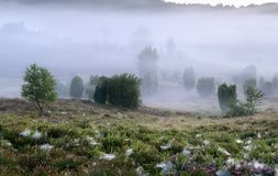 Juniper trees and blueberries in dense fog Royalty Free Stock Image