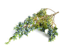 Juniper twig Royalty Free Stock Images