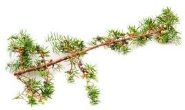 Juniper twig and berries stock image