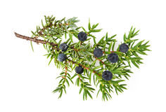 Juniper twig with berries. Juniper branch with berries isolated on white royalty free stock photo