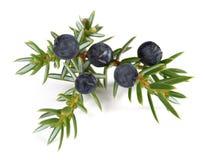 Juniper twig with berries Stock Photos