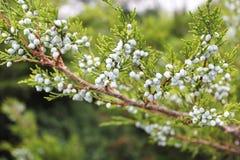 Juniper twig Stock Image