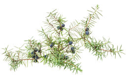 Juniper twig with berries. Isolated on white background royalty free stock photography
