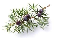 Juniper twig with berry Royalty Free Stock Photos