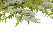 Juniper Stock Photo