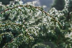 Juniper twig with drops after the rain. royalty free stock images