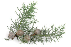 Juniper Twig. Juniper Sprig and Berries. Over white Royalty Free Stock Photos