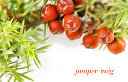 Juniper twig on a white background Stock Image