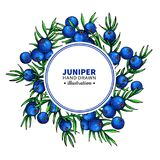 Juniper vector drawing frame. Isolated template with berry on branch. Organic essential oil stock illustration