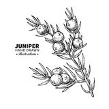 Juniper vector drawing. Isolated vintage illustration of berry on branch. Organic essential oil engraved style sketch. vector illustration