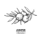 Juniper vector drawing. Isolated vintage illustration of berry on branch. Organic essential oil engraved style sketch. Juniper vector drawing. Isolated vintage Royalty Free Stock Photos