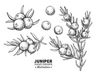 Juniper vector drawing. Isolated vintage illustration of berry on branch. Organic essential oil engraved style sketch. stock illustration