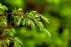 Juniper. Young sprouts. Young sprouts of the juniper growing in the spring wood Stock Photo