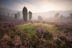 Junipers and heather in sunrise mist Stock Image