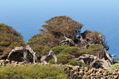 Junipers Juniperus turbinata canariensis twisted by the wind. La Dehesa. Frontera Rural Park. El Hierro. Canary Islands. Spain stock photography