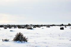 Junipers in plain winter landscape Stock Photo