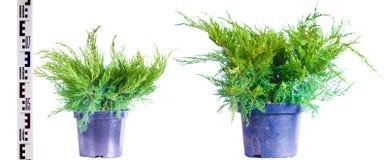 Junipers in a pot Stock Photos
