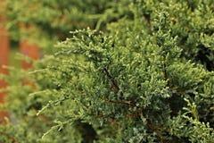 Juniperus fotografia stock