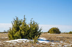 Juniperus bushes Royalty Free Stock Photo