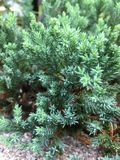 Juniperus chinensis foto de stock