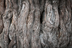 Juniperus chinensis Royalty Free Stock Image